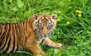Picture cat, grass, look, tiger, cub, kitty, tiger, Sumatran