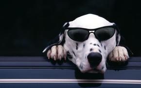 Picture face, paws, glasses, claws, Dalmatian, dalmatian