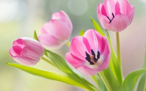 Picture tulips, pink, buds