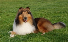 Picture grass, animal, dog, mouth, lawn, collie, Collies