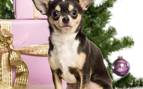 Picture dog, gifts, New year, tree, box, Chihuahua