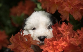 Picture flowers, dog, muzzle, puppy, Bobtail