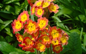 Picture greens, flower, orange, bright, yellow, spring, flowers, primrose, spring, Primula