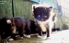 Picture kitty, black, Ukraine
