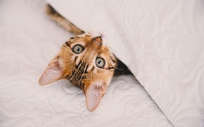 Wallpaper eyes, kitty, look