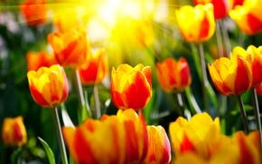 Wallpaper the sun, rays, flowers, spring, garden, tulips, parks, light