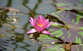 Picture flower, sheet, petals, pond, coin
