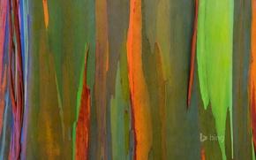 Picture nature, tree, color, Hawaii, bark, Maui, rainbow eucalyptus