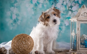 Picture tangle, girl, lantern, puppy, breed, the Sealyham Terrier