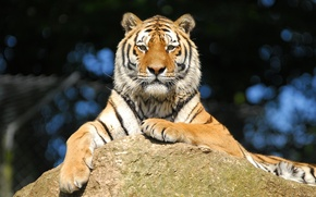 Picture look, tiger, stay, stone, Amur