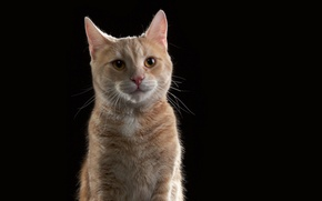 Picture cat, the dark background, red, cat