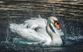 Picture water, drops, squirt, Swan, splashing
