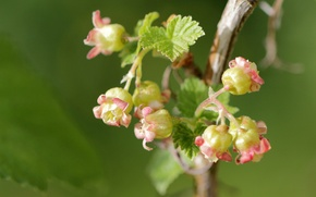 Picture macro, branch, flowering, currants, flowers, black currant