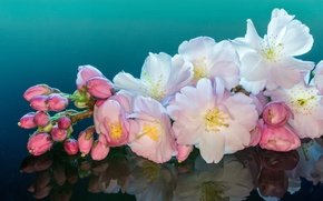 Picture macro, cherry, reflection, branch, flowering, flowers, buds
