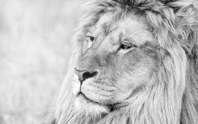 Picture face, animal, Leo, b/W, mane, lion