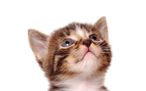 Picture cat, cat, kitty, white background, striped, cat
