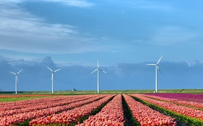 Picture field, nature, tulips, windmills