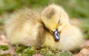 Picture yellow, beak, sleeping, duck