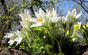 Picture macro, spring, sleep-grass, anemone