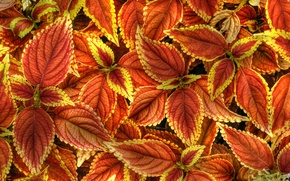 Wallpaper leaves, nature, paint, plant, Coleus In Bloom