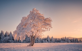 Picture winter, snow, tree, tree, morning