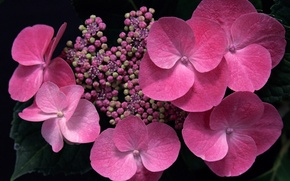Picture macro, flowers, pink, buds, hydrangea