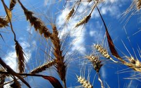 Wallpaper Field, The sky, Wheat