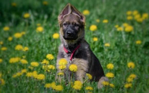 Picture flowers, dog, meadow, puppy, dandelions, German shepherd