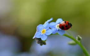 Picture macro, ladybug, insect, forget-me-nots