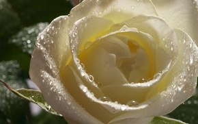 Picture drops, flowers, Rosa, rose, petals, Bud, white