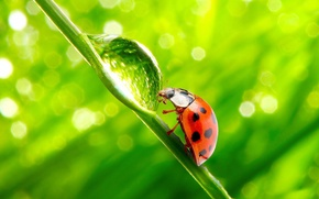 Wallpaper LENS, DROP, GREEN, GRASS, INSECT, LADYBUG, REFLECTION, ROSA, STEM, WATER, BACKGROUND