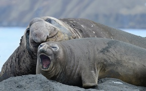 Picture South Georgia, Elephant Seals Relaxing, Gold Harbor