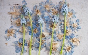 Wallpaper style, petals, composition, Muscari, Hyacinth mouse