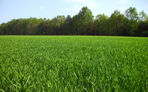 Picture greens, field, summer, grass, nature, green, summer, grass, Nature, trees