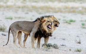 Picture nature, Africa, lions