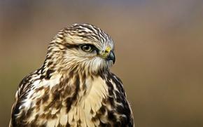 Picture look, bird, profile, bird, hawk, portrait, Buteo lagopus, Rough-legged hawk, The rough-legged Buzzard, rough-legged Buzzard