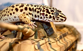 Picture eyes, lizard, tank, Gecko, ablefor