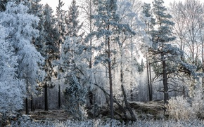 Wallpaper forest, trees, frost