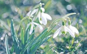 Picture flowers, macro, earth, light, primrose, nature, plants, white, blur, greens, glare, grass, spring, snowdrops