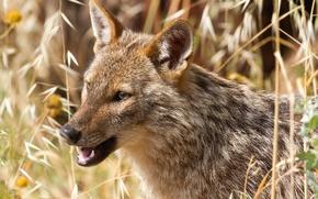 Wallpaper African wolf, Jackal, predator