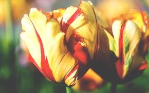 Picture macro, flowers, yellow, bouquet, tulips, brightness