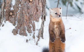 Picture winter, snow, stand, animal, marten