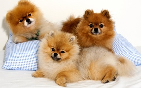Picture look, dog, pillow, Spitz, Trinity