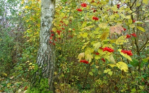 Picture autumn, forest, leaves, trees, berries, Bush, Kalina