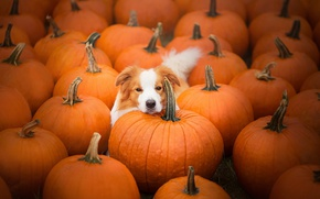 Picture dog, pumpkin, Beagle