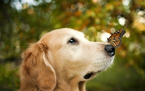 Picture background, butterfly, dog