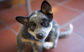 Picture look, each, dog, Australian Cattle Dogs