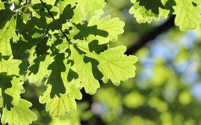 Wallpaper autumn, leaves, Forest, oak, the Botanical garden