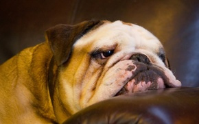 Picture face, dog, English bulldog