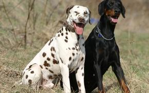 Picture nature, friendship, friends, Dalmatian, Dobermann